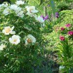 пионы в саду