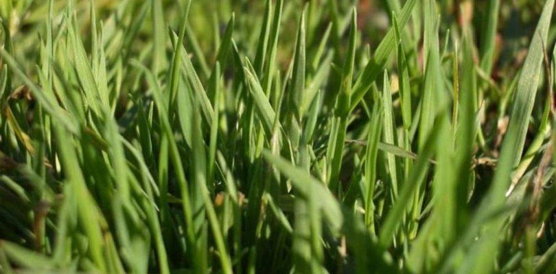 смесь трав для зеленого газона