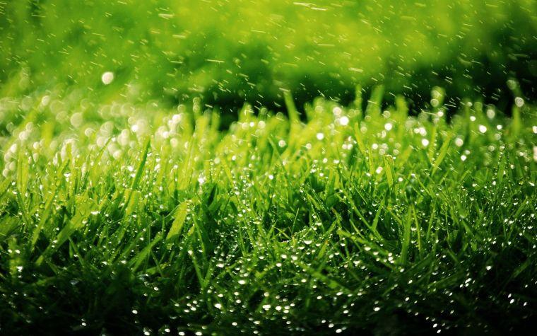газон из полевицы