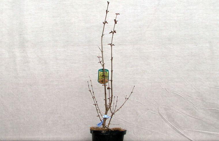 Посадка багряника