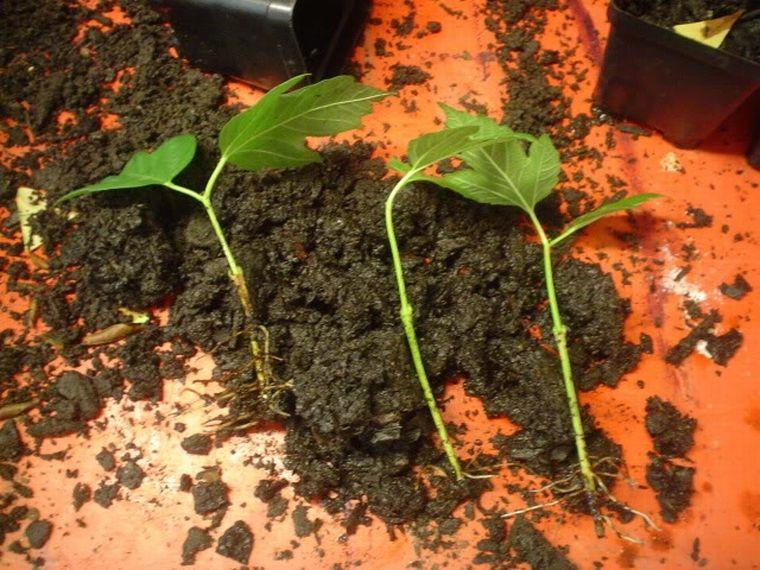 Как сажать калину: выращивание и уход за кустами 54