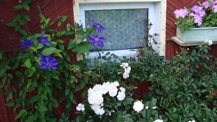 Алиссум в саду