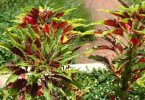 Цветок амарант