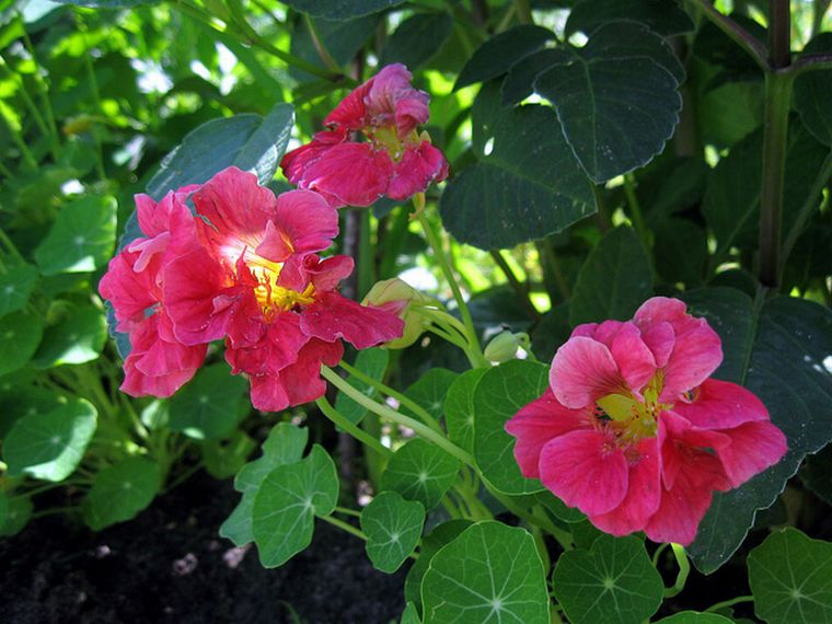 Вишневая роза