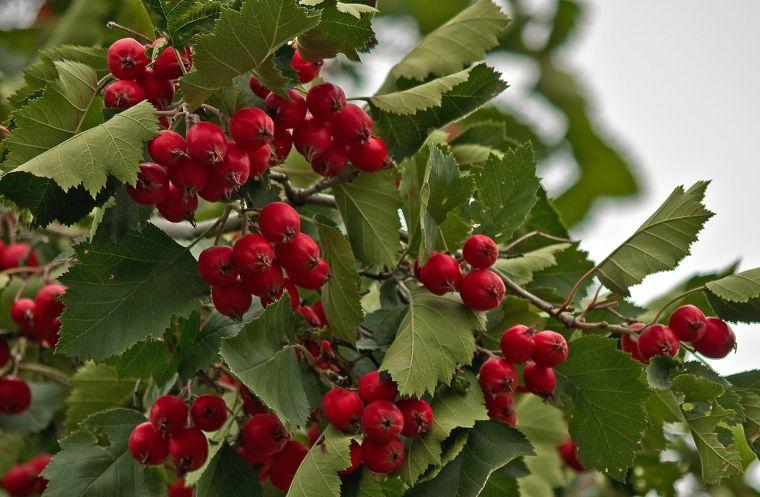 Боярышника ягоды