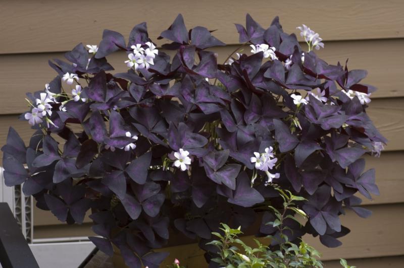 Фото цветов кислицы