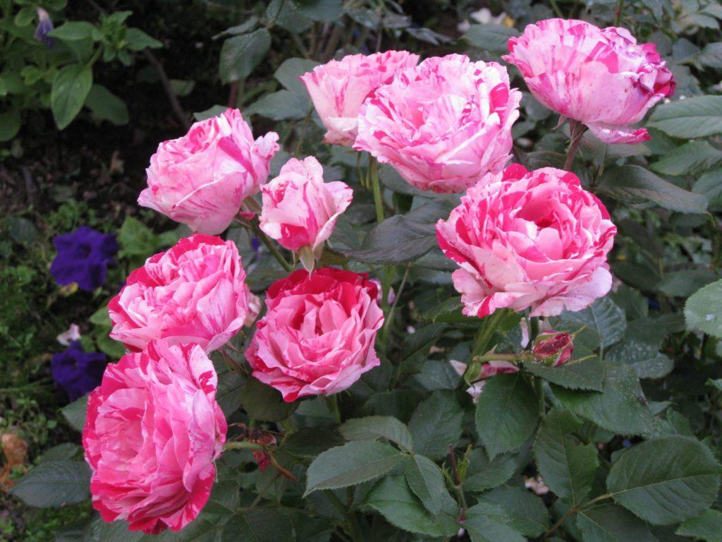 Сорт розы Голливуд