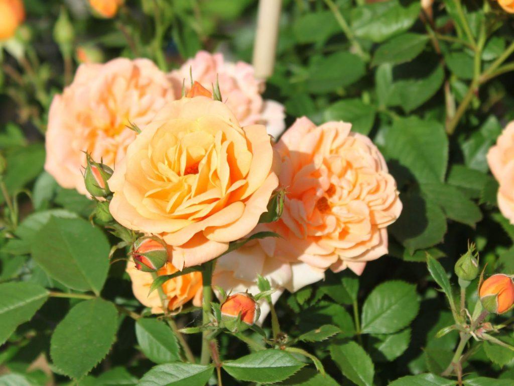Почвопокровная роза Априкот Клементин (Apricot Clementine)