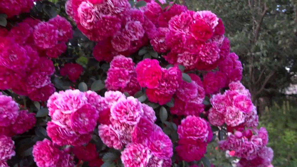 Роза Эксцельза (Excelsa)