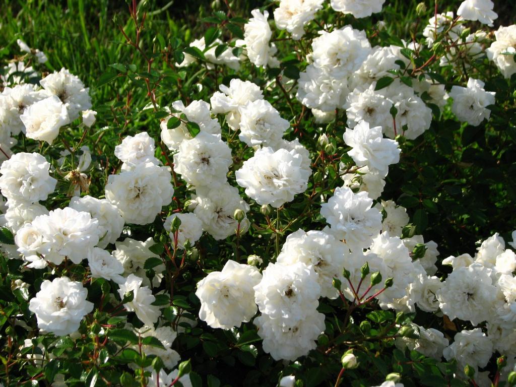 Как не потеряться в разнообразии сортов: выбираем почвопокровные розы для своего сада