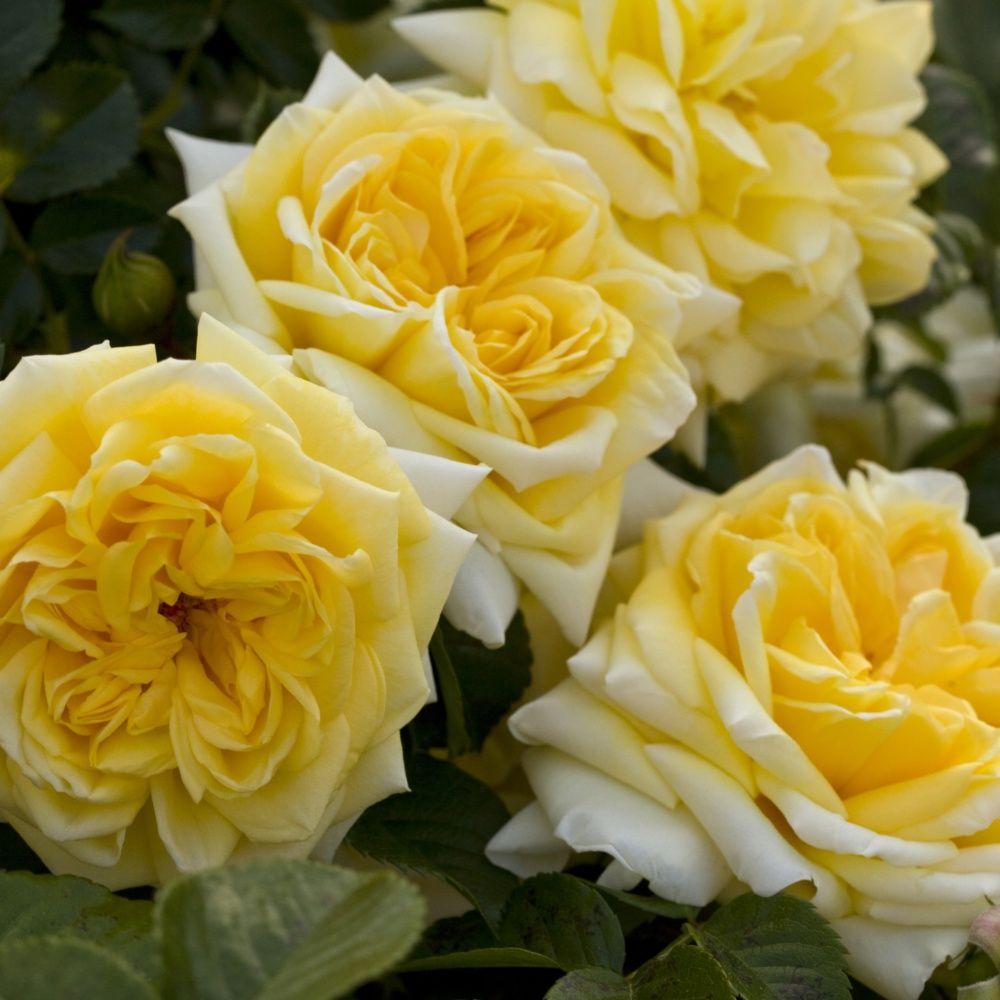 Почвопокровная роза Надья Мейяндеор (Nadia Meillandecor)
