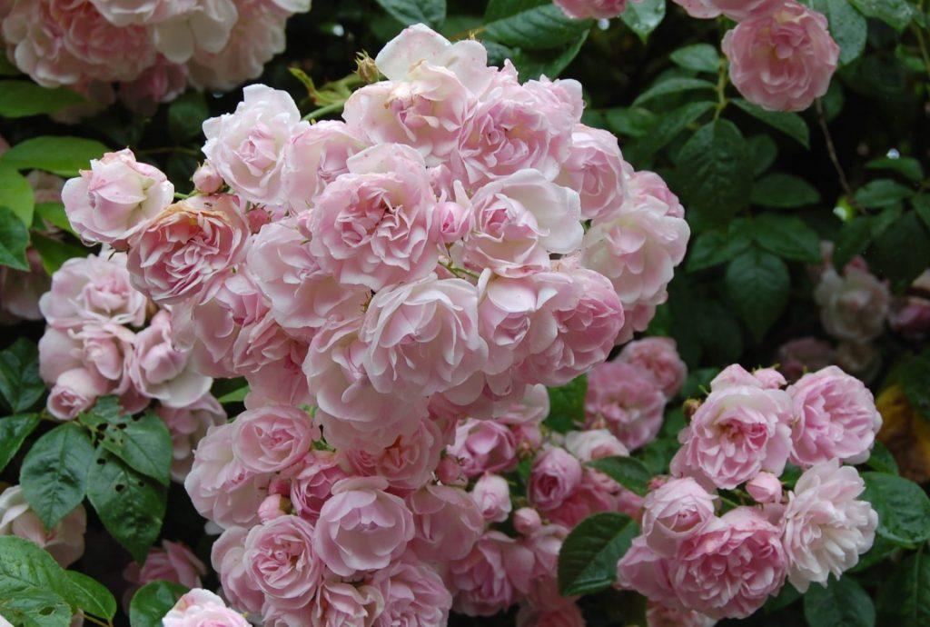 Сорт розы почвопокровной Бельведер