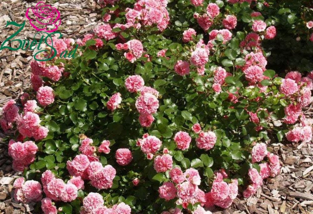 Роза, сорт Четыре сезона