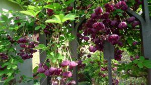 Акебия в саду