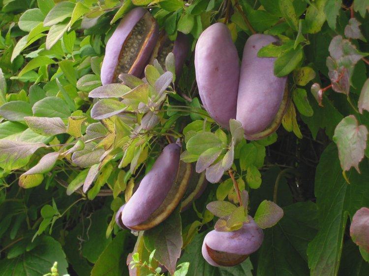 Акебия выращивание и уход на даче 12
