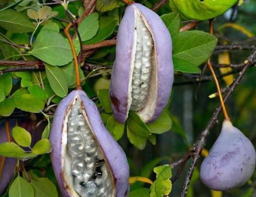 Плоды акебии