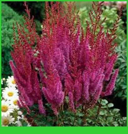 Астильба: нюансы размножения, ухода, подготовки к зиме, выбора сорта