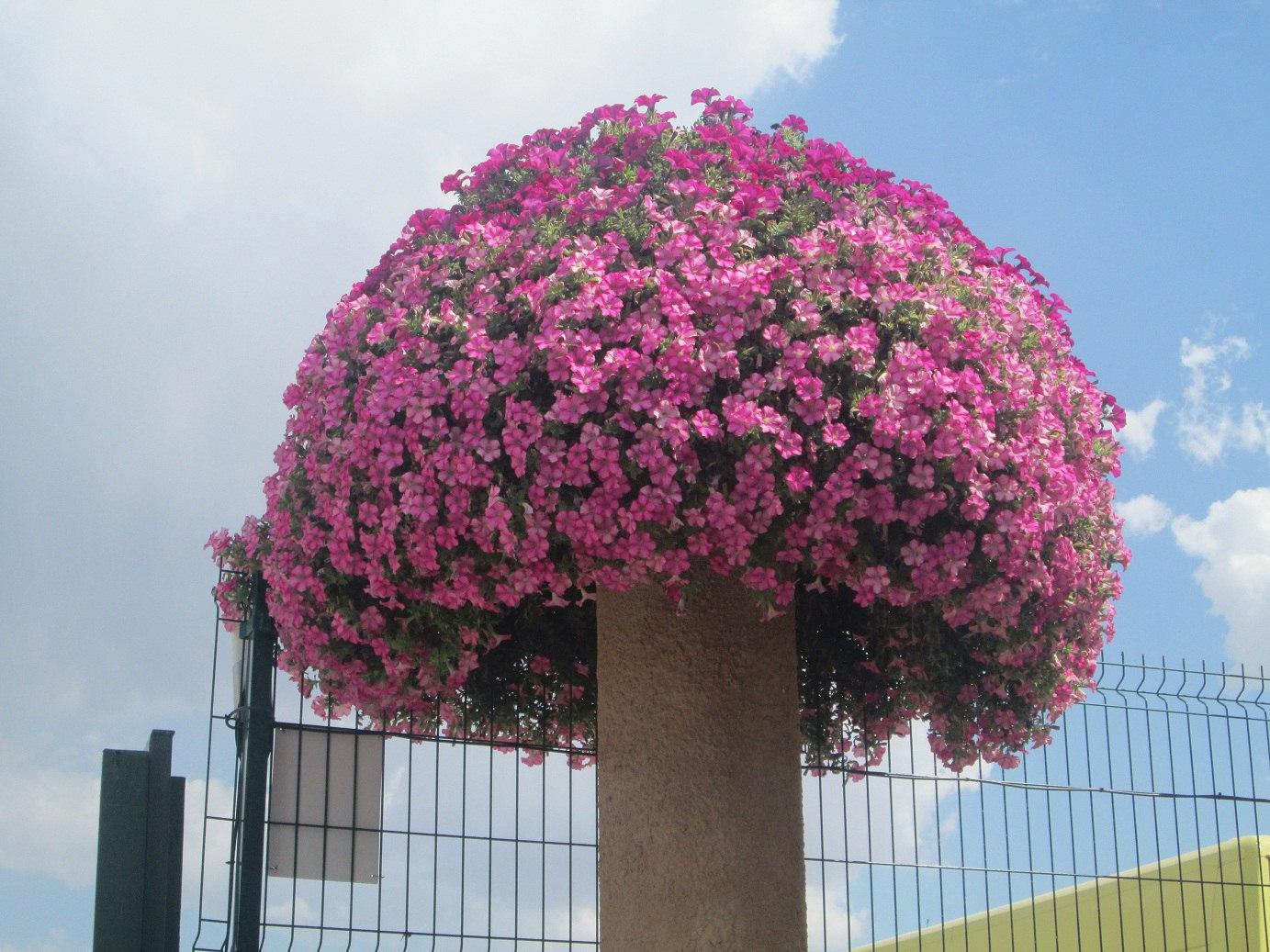 Калибрахоа выращивание из семян фото 45