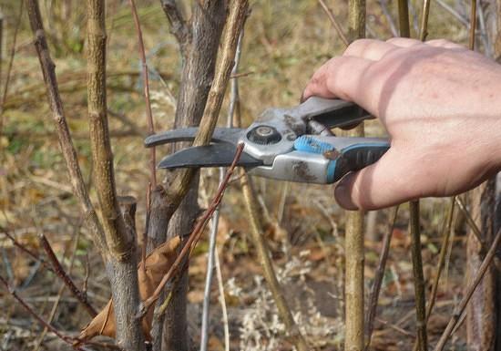 Калина-бульденеж: особенности размножения, посадки, ухода