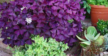 Фиолетовая кислица