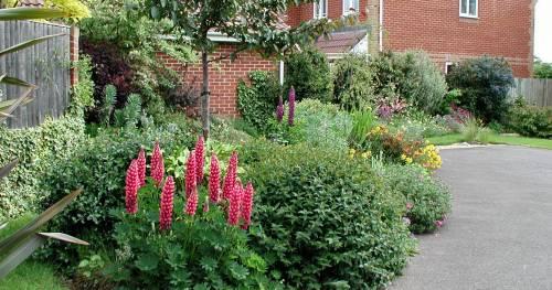 Красные люпины в саду