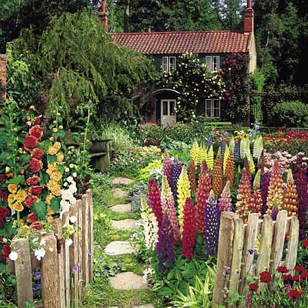 Люпин в саду