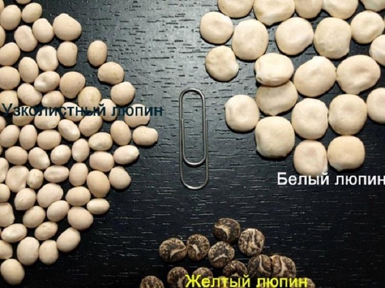 Как выглядят семена люпинов