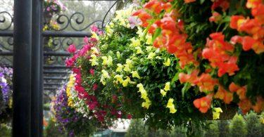 Цветы львиный зев фото