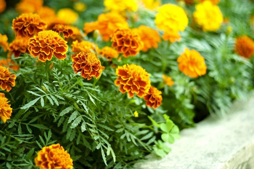 Низкорослые многолетние цветы для клумбы названия и фото