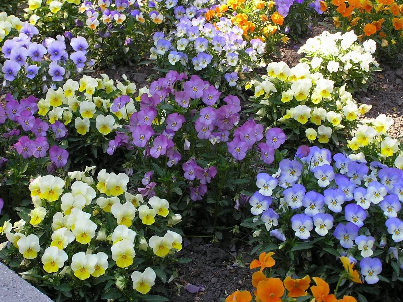 Виола цветы фото клумба
