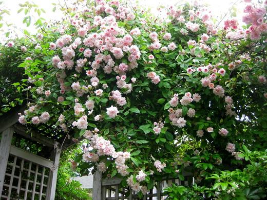 Крепление для плетистых роз своими руками фото 471