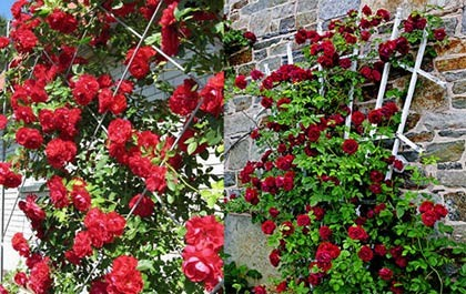 Опора для плетистой розы