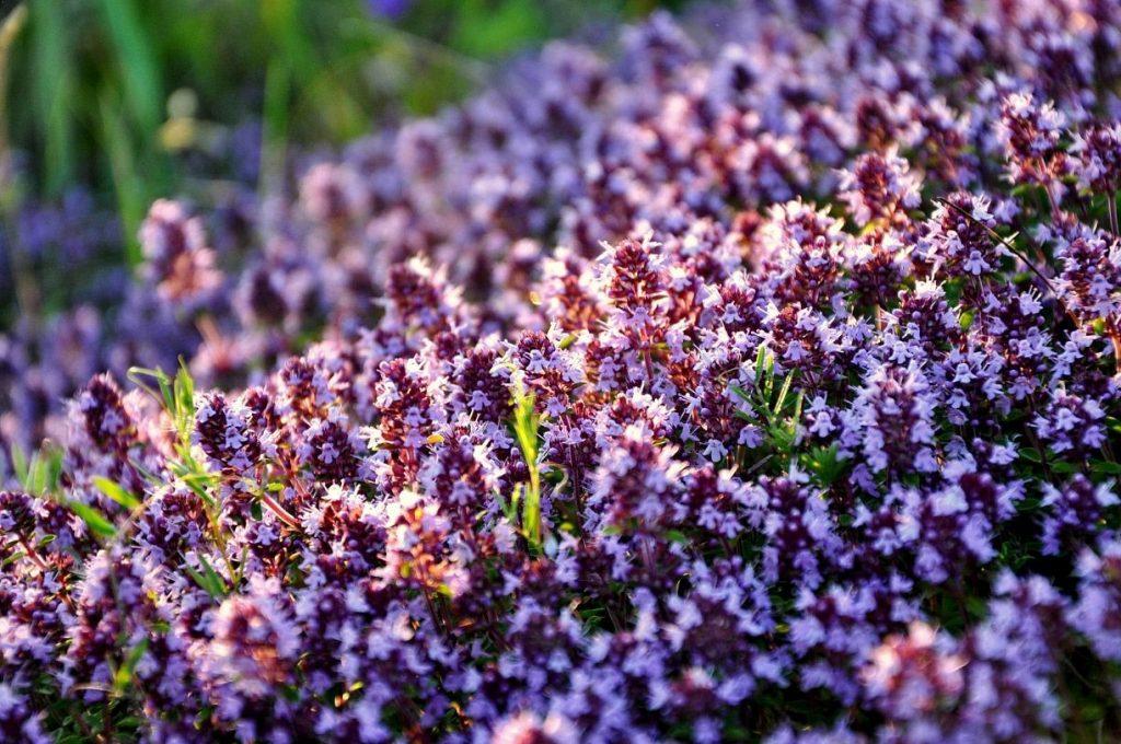 Почвопокровные цветы-многолетники: фото и названия