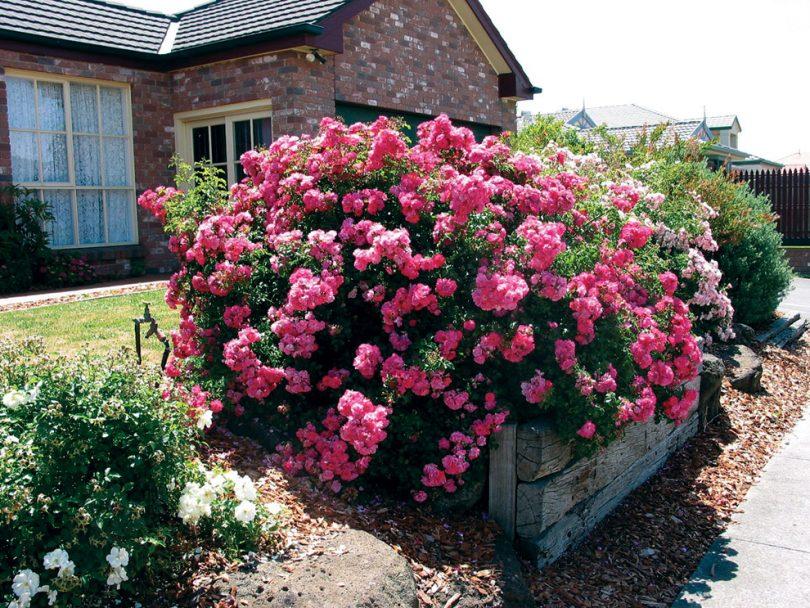 Почвопокровные розы в ландшафтном дизайне фото