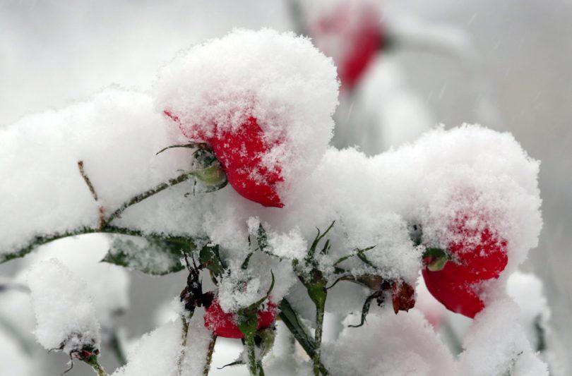 Зимостойкие сорта почвопокровной розы
