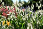 Сухоцветы в саду, фото и названия