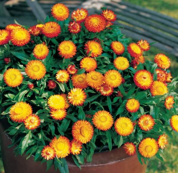 Сухоцветы - гелихризум