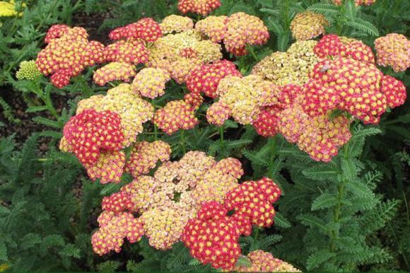 Сухоцветы в саду