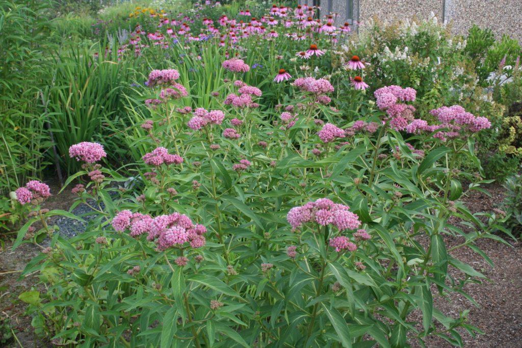 Асклепиас с эхинацеями в саду бабочек