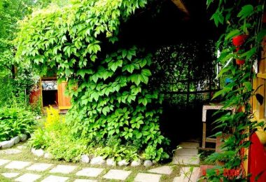 Вьющиеся растения для дачи и сада
