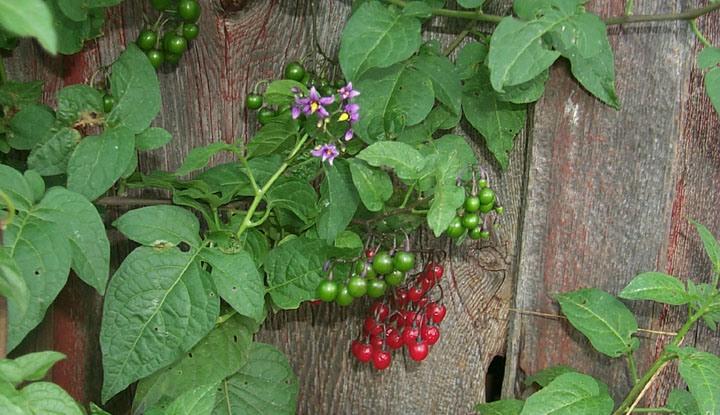 plantning af vindruer i drivhus