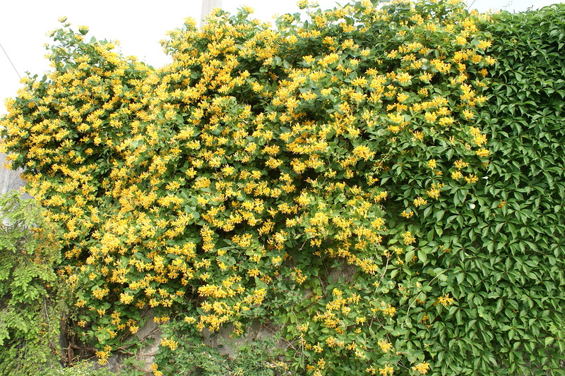 Лианы для сада