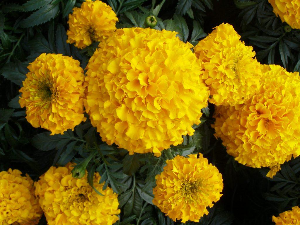Цветы бархатцы фото