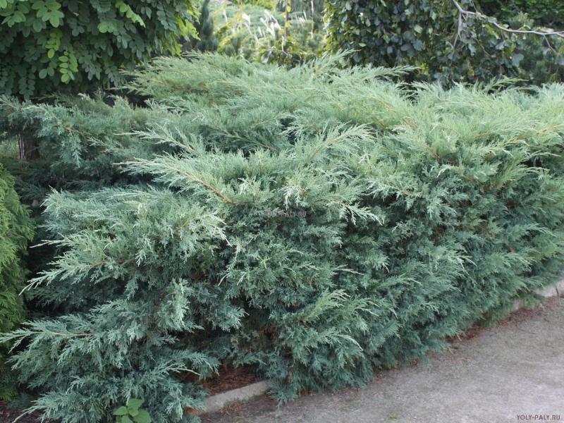 Растения для живой изгороди