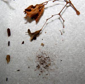 Семена бегонии