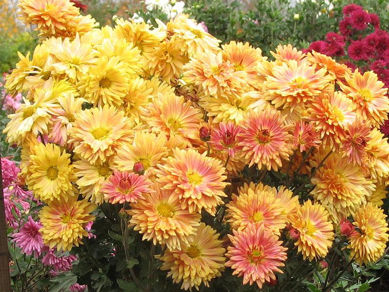Какие цветы многолетние. фото
