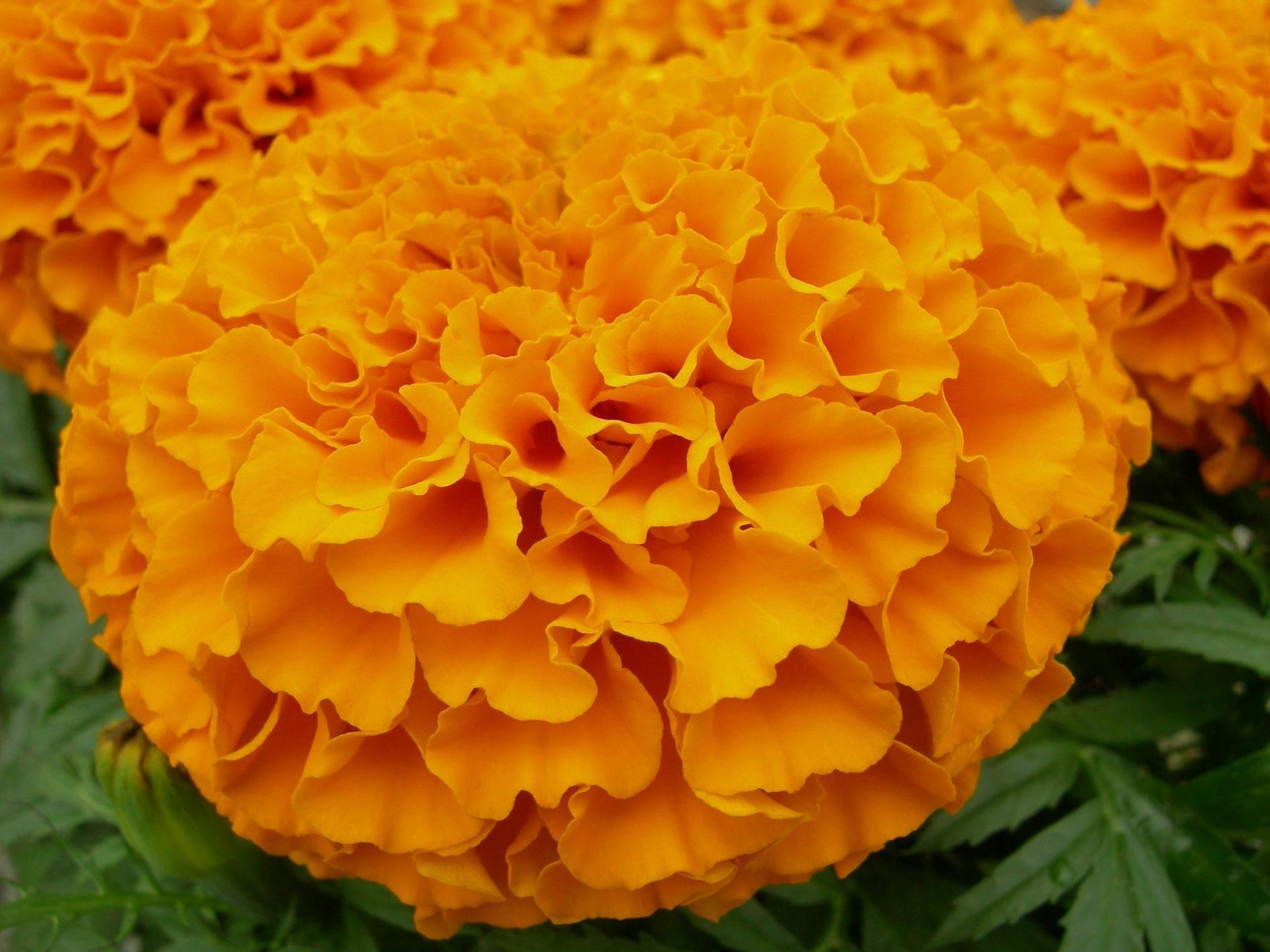 Бархатцы сорта фото цветов
