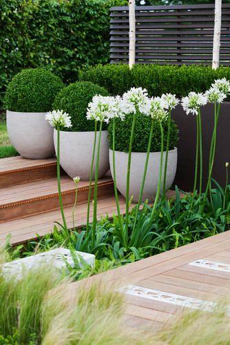 Применение агапантусов в ландшафтном дизайне