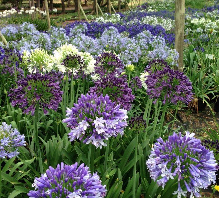 Разнообразие расцветок агапантусов