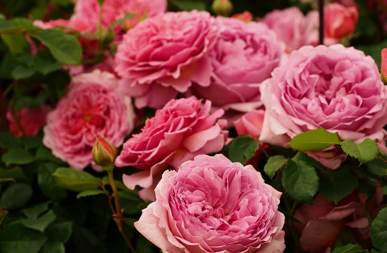 Сорта роз для подмосковья с фото и описанием